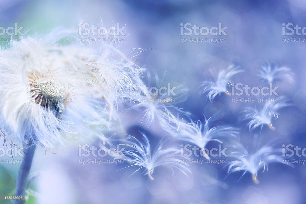 dandelion blowing stock photo