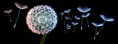 Dandelion blowing seeds in the air with black background