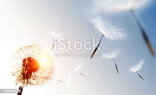 Dandelion blowing seeds in the sky.