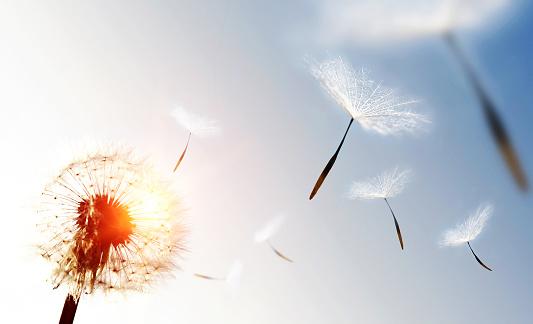 Dandelion blowing seeds in the sky.