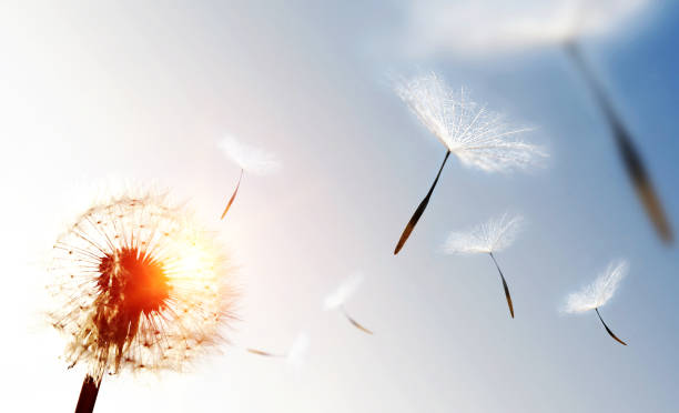 Dandelion blowing seeds in the sky Dandelion blowing seeds in the sky. positive emotion stock pictures, royalty-free photos & images