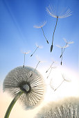 Dandelion blowing seeds in the sky with summer sunset background
