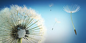 Dandelion blowing seeds in the sky with summer sky background