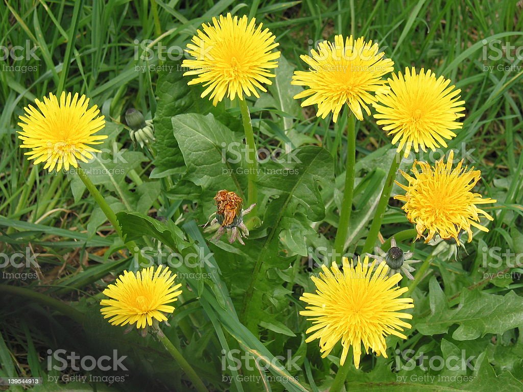 Dandelion Circle stock photo