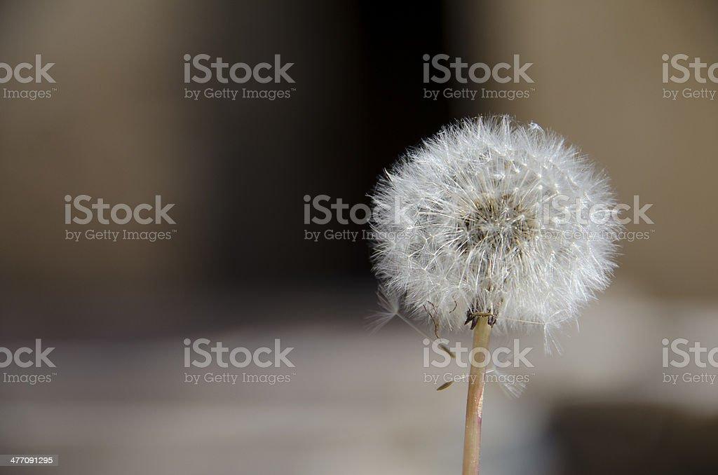 Dandelion Clock dispersing seed in brown blured background stock photo