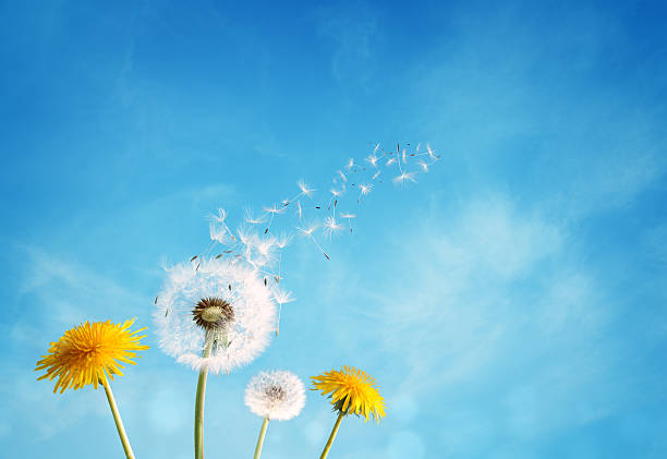 Dandelion clock dispersing seed Dandelion with seeds blowing away in the wind across a clear blue sky with copy space fresh start morning stock pictures, royalty-free photos & images