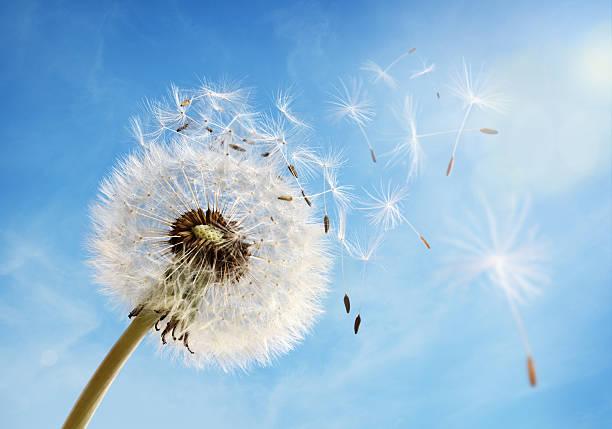 löwenzahn uhr lässt seed - blumenuhr stock-fotos und bilder