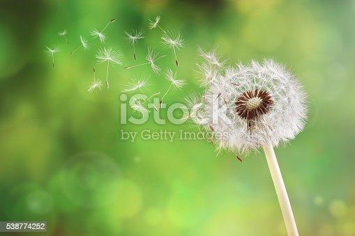 istock Dandelion clock dispersing seed 538774252