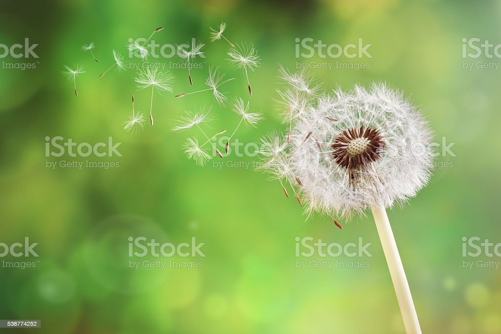 Dandelion clock dispersing seed stock photo