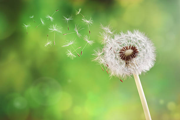 dandelion clock dispersing seed - blowing stock photos and pictures
