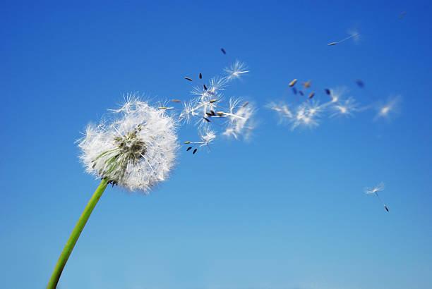dandelion clock dispersing seed with blue sky in the background - foderblad bildbanksfoton och bilder