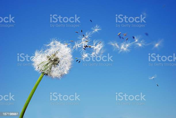 Dandelion Clock Dispersing Seed With Blue Sky In The Background Stock Photo - Download Image Now