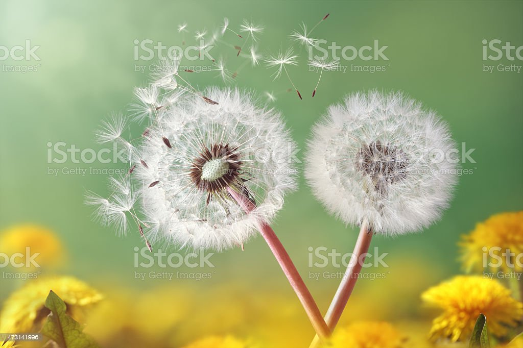 Dandelion clock in morning light stock photo
