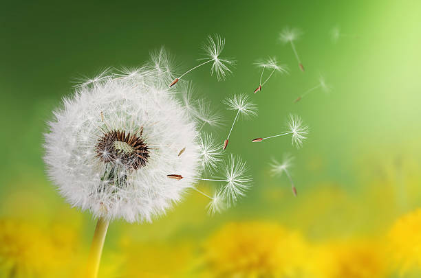 royalty free dandelion seed pictures images and stock photos istock