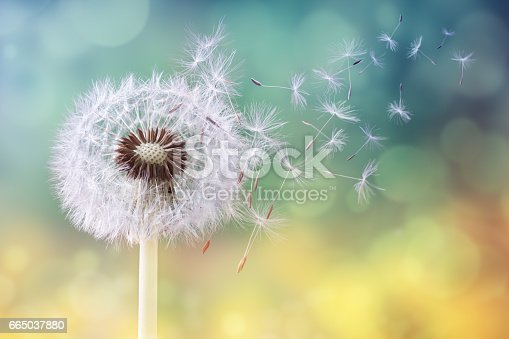 istock Dandelion clock in morning sun 665037880