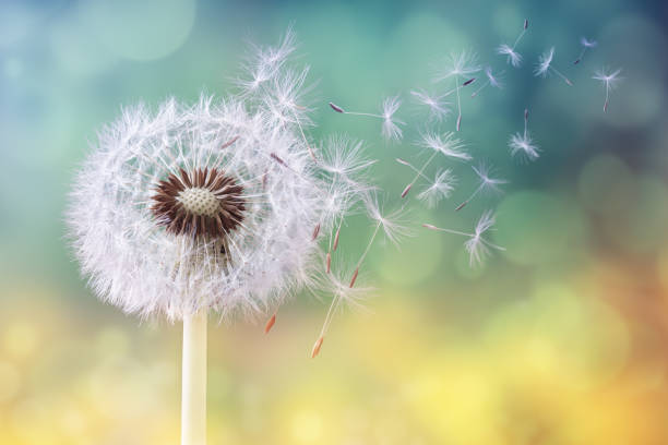 Dandelion clock in morning sun Dandelion seeds in the sunlight blowing away across a fresh green morning background fragility stock pictures, royalty-free photos & images
