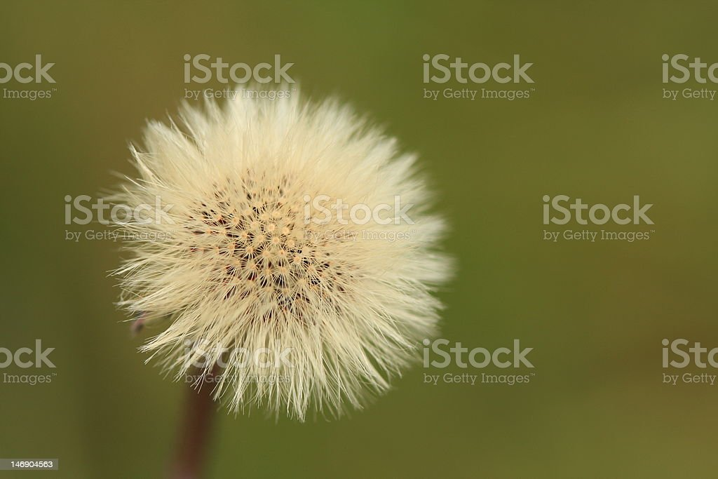 Dandelion clock royalty-free stock photo