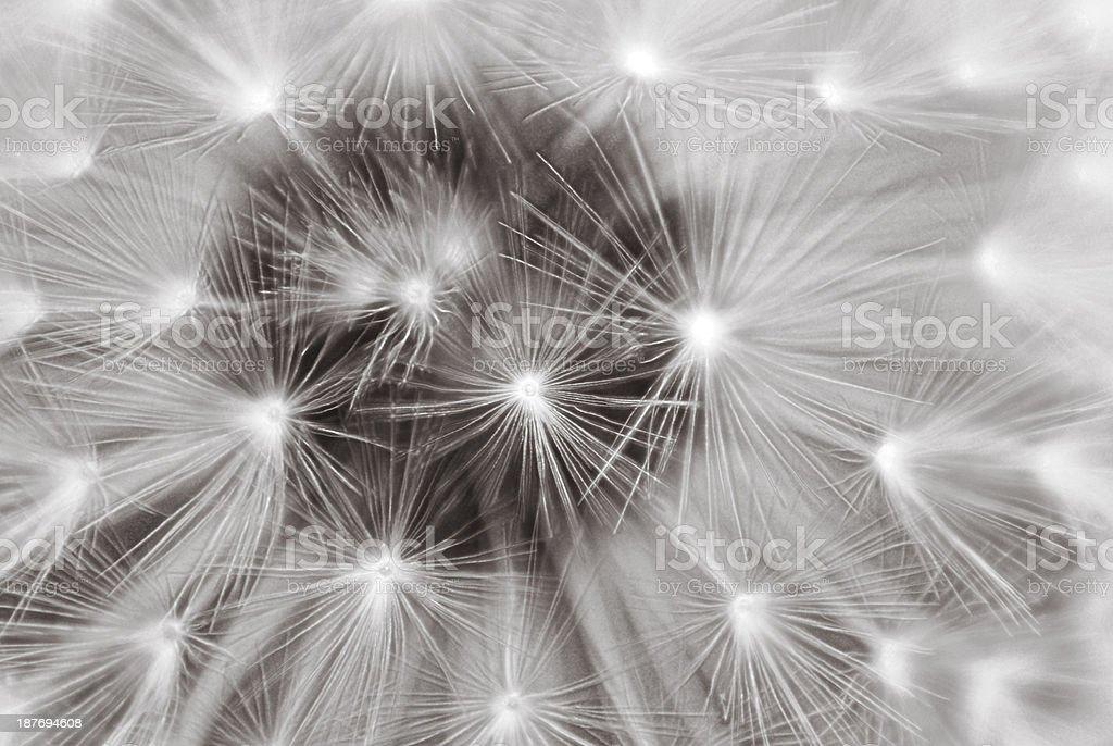 dandelion clock stock photo