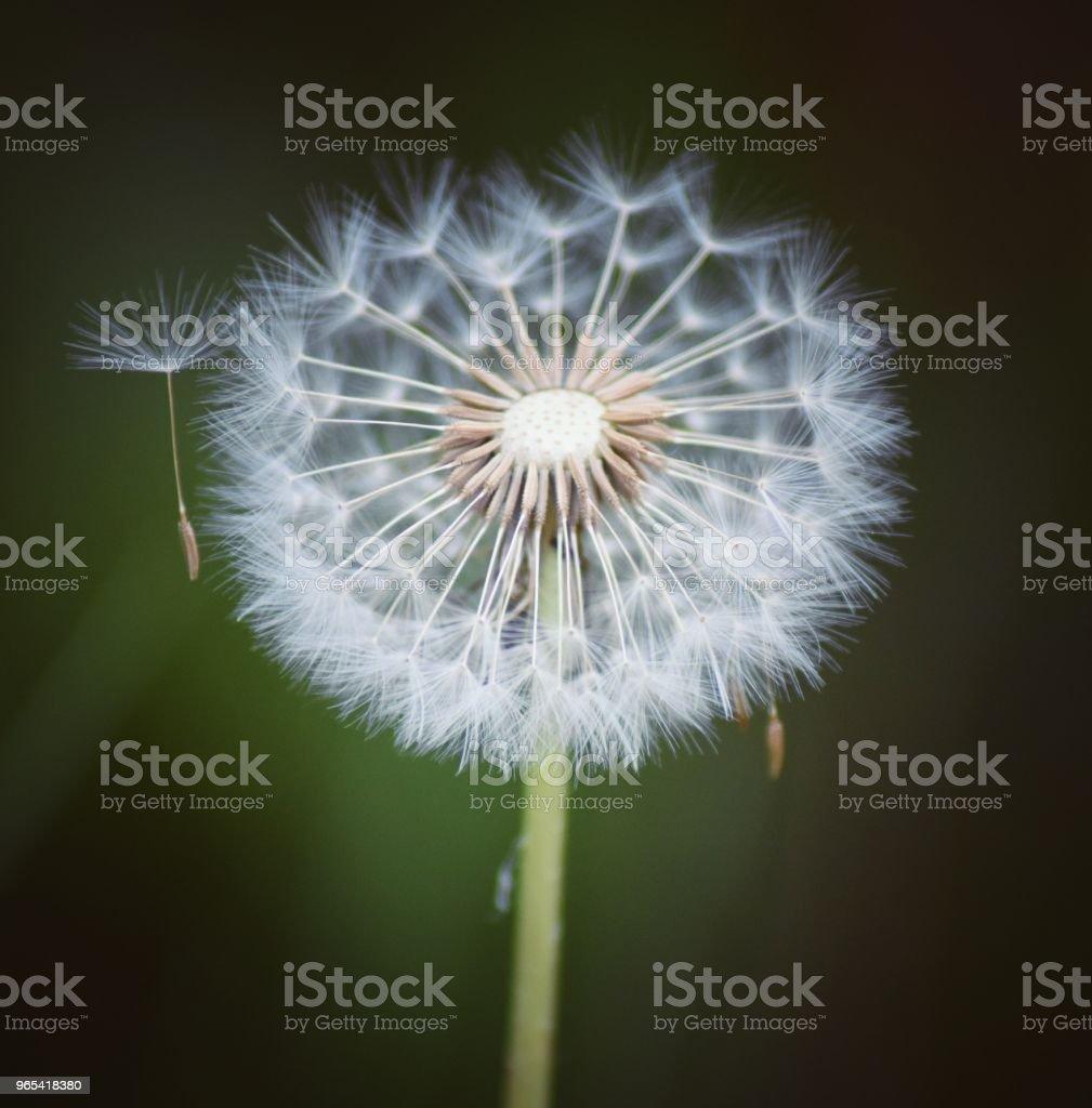 Fleur de pissenlit-réveil - Photo de Aigrette de pissenlit libre de droits