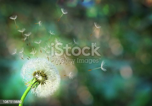 Dandelion. Close up of dandelion spores blowing away,blue sky background