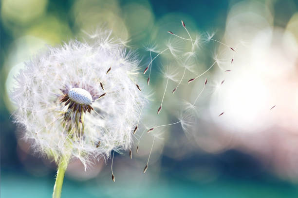 Dandelion. Close up of dandelion spores blowing away,dandelion seeds in the sunlight blowing away across a fresh green morning background stock photo