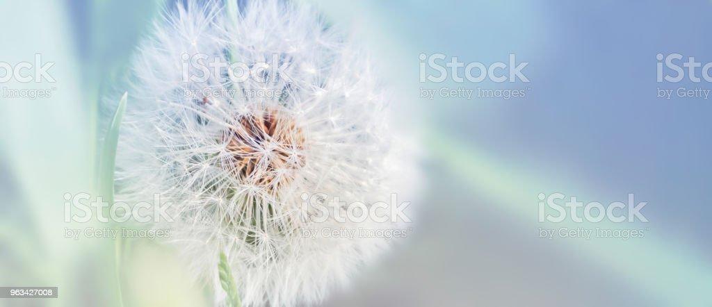 Dandelion close up on natural background. Dandelion flower on summer meadow - Zbiór zdjęć royalty-free (Dmuchać)