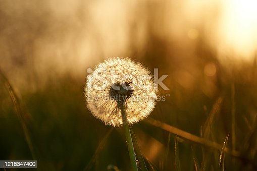 In the back light of the setting sun a dandelion shines softly and translucently