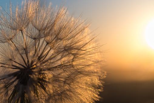 Dandelion closeup against sun and sky during the dawn, meditative summer zen background