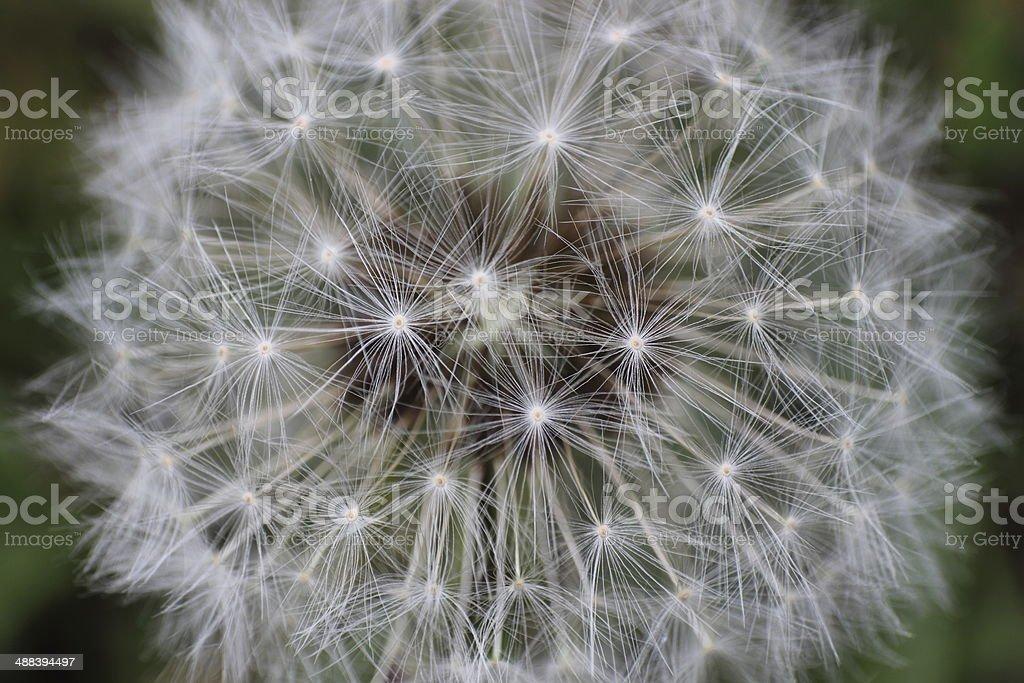 Dandelion close-up stock photo