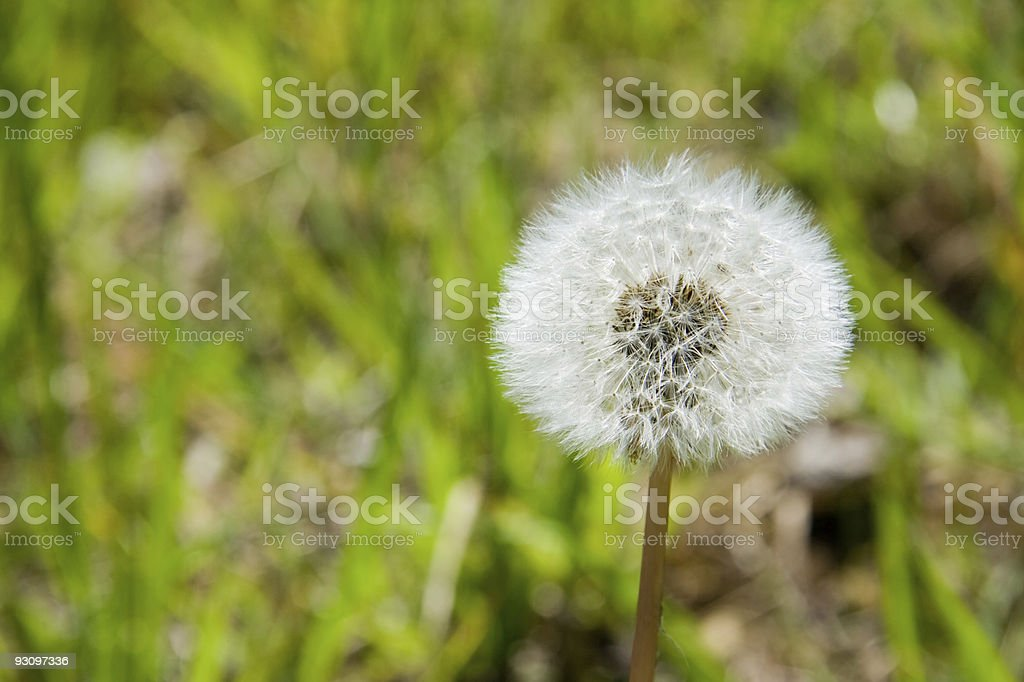 Dandelion Close-up royalty-free stock photo