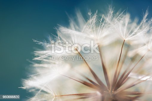 Dandelion seeds in the sunlight and fresh green morning background