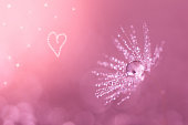 Dandelion closeup with water drops. Dandelion on a pink background with heart.Art work