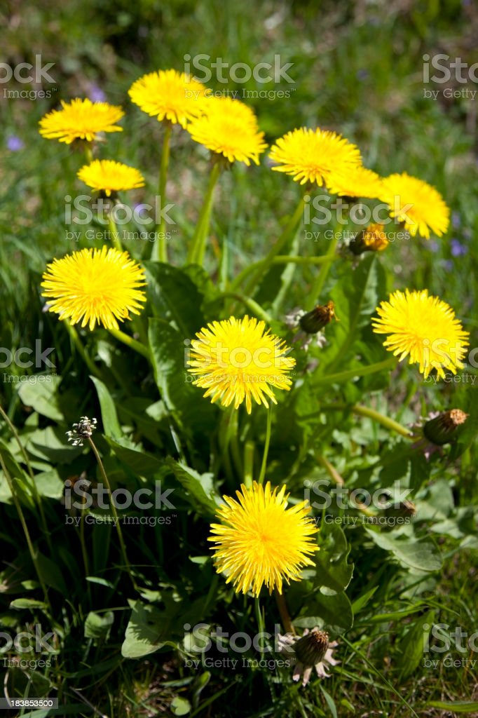 dandelion clump royalty-free stock photo