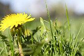 dandelion. Colorful bright spring background.