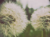 Abstract close-up photograph of two white dandelions with moody tones and whispers of focus variations making the photograph appear dream-like and beautifully unreal.