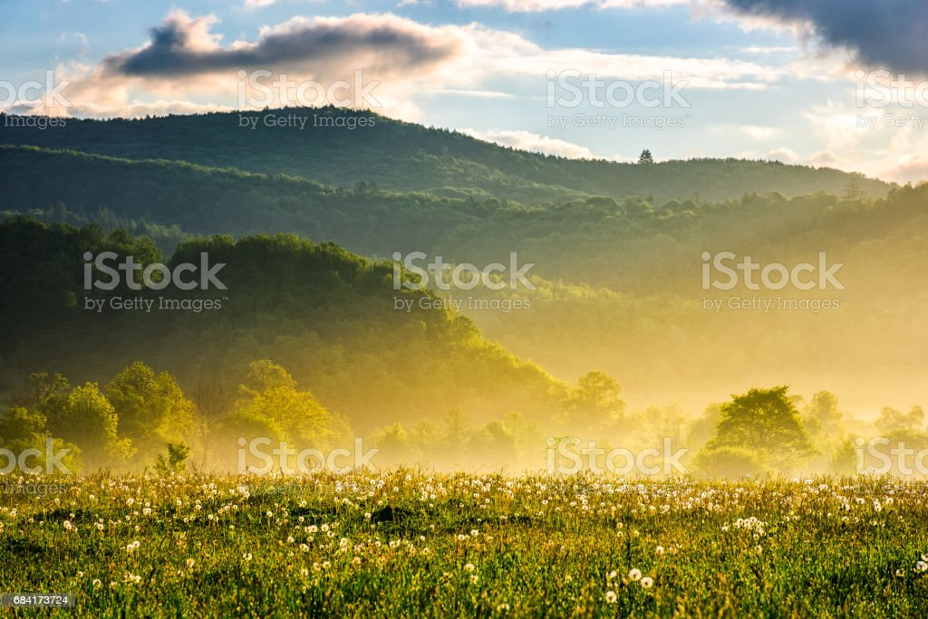 dandelion field at foggy sunrise in mountains foto stock royalty-free