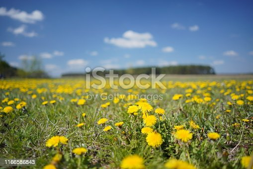 643781968 istock photo Dandelion field in the spring 1166586843