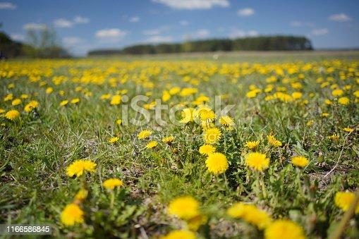 istock Dandelion field in the spring 1166586845