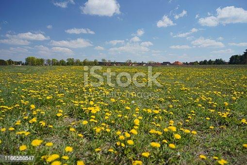 istock Dandelion field in the spring 1166586847