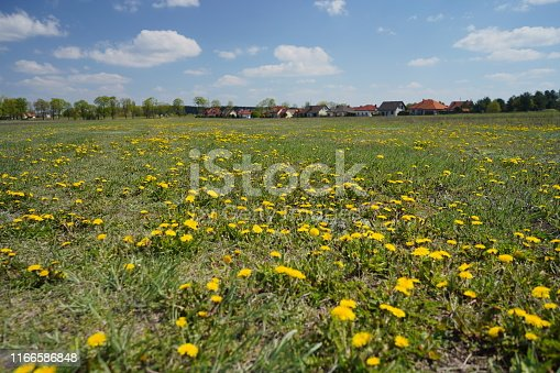 643781968 istock photo Dandelion field in the spring 1166586848
