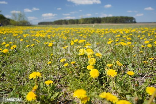 istock Dandelion field in the spring 1166587385