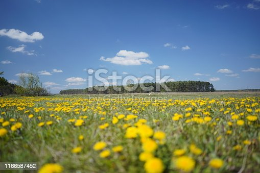 istock Dandelion field in the spring 1166587452