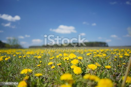 643781968 istock photo Dandelion field in the spring 1166587454