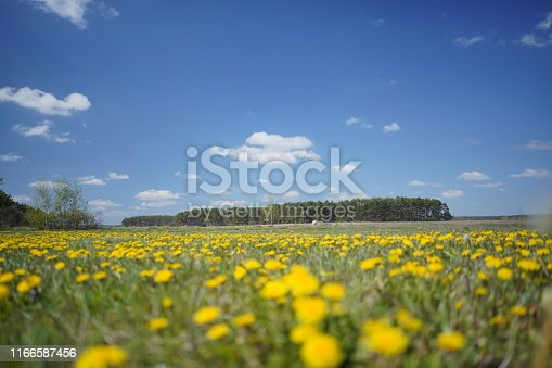 643781968 istock photo Dandelion field in the spring 1166587456