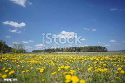 643781968 istock photo Dandelion field in the spring 1166587457