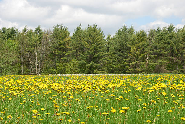 Dandelion Field on an overcast spring day stock photo