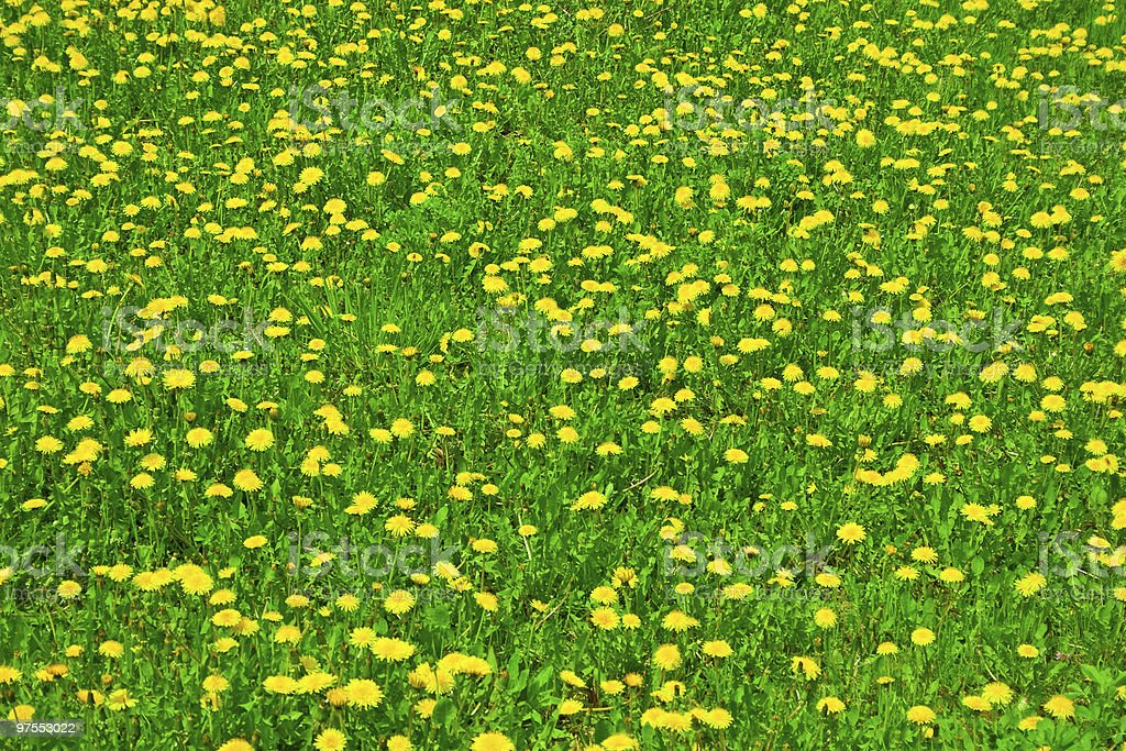 Dandelion field royalty-free stock photo