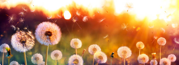Dandelion Field With Flying Seeds At Sunset stock photo