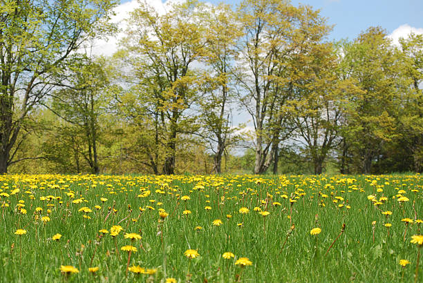 Dandelion Field with forest in the background stock photo