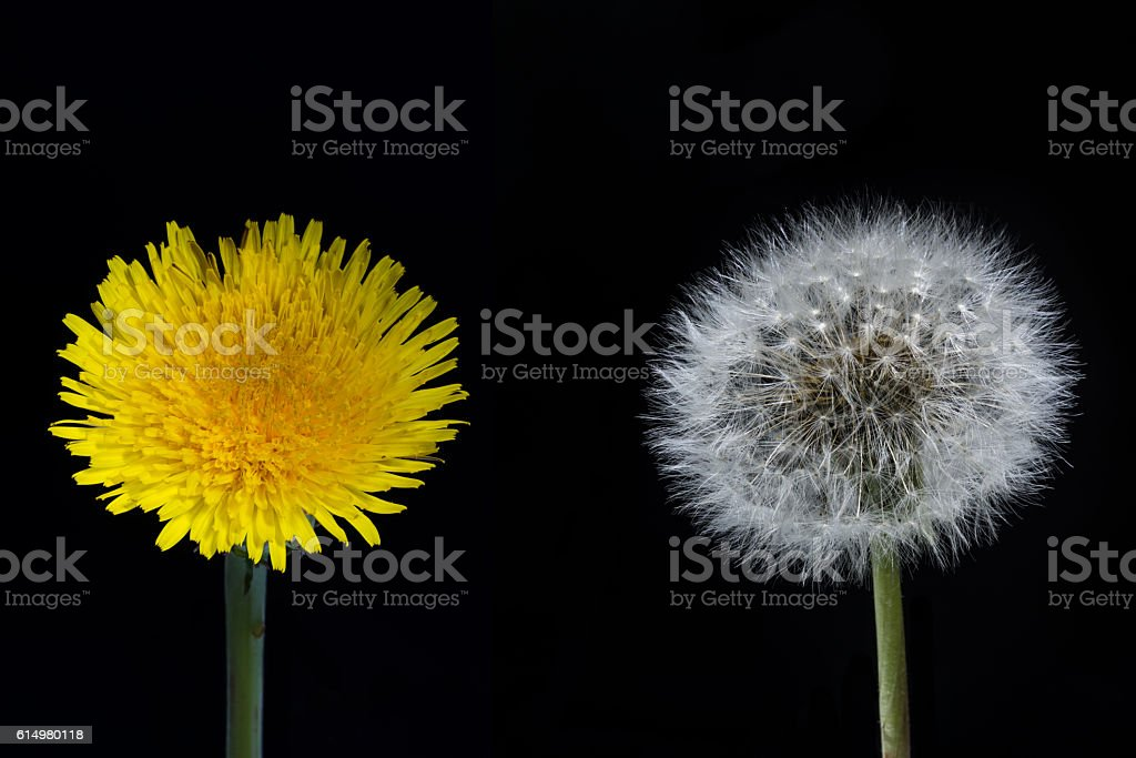 Dandelion flower and seed head on a black background – Foto
